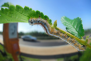 Lackey moth (Malacosoma neustria) | Ringelspinner (Raupe), Malacosoma neustria
