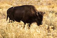 Buffalo herd, near Zion National Park, Utah