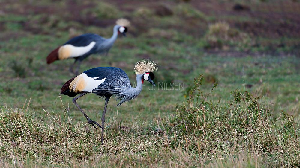 Grey Crowned Crane (Balearica regulorum) feeding in Maasai mara, Kenya.
