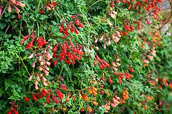 Eccremocarpus scaber - Chilean glory flower