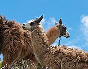 The necks of two Llamas cross at Quilotoa, Ecuador, South America