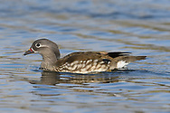 Mandarin Duck - Aix galericulata - female