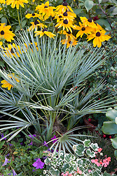 Chamaerops humilis var. argentea, Dawarf fan palm, grown in a container