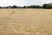 Nederland, Brummen, 19-7-2018Deze Blonde d'Aquitaine koeien grazen in een vergeeld weiland . Het gras is verdroogd en geel door de langdurige droogte . Door het uitblijven van regen is het gras verdwenen ..Foto: Flip Franssen