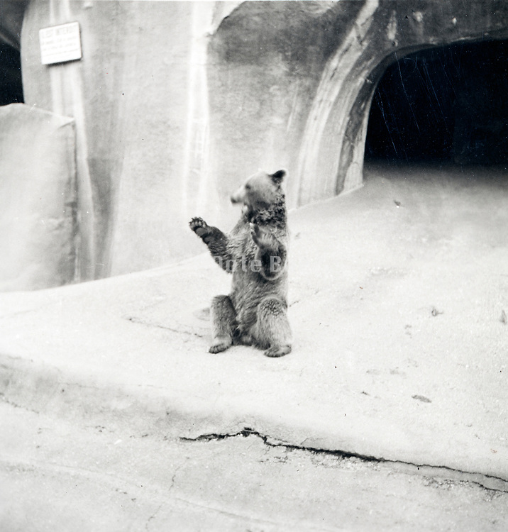 bear in the Paris Zoo ca 1960s