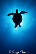 silhouette of E. Pacific green sea turtle ( black sea turtle ), Chelonia mydas agassizi, Endangered Species, Galapagos Islands, Ecuador ( E. Pacific )