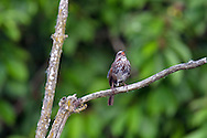 A Song Sparrow (Melospiza melodia) singing in the marsh at Elgin Heritage Park near Crescent Beach, British Columbia, Canada