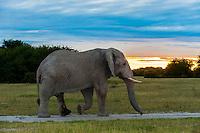 Elephant walking at sunset, Nxai Pan National Park, Botswana.