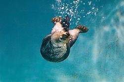 California sea otter, Enhydra lutris nereis, swimming underwater, California, North East Pacific Ocean (c)