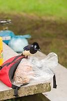 URRACA COMUN (Cyanocorax chrysops) BUSCANDO COMIDA DE TURISTAS EN EL CAMPING, PARQUE NACIONAL EL PALMAR, ARGENTINA
