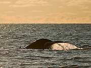 The Balaenoptera musculus (Blue Whale) is the biggest animal on the planet. This one was photographed near Húsavík, Iceland during a whalewatching trip.