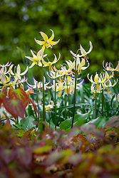 Erythronium 'Joanna'  - Fawn lily - growing with epimedium in the woodland garden