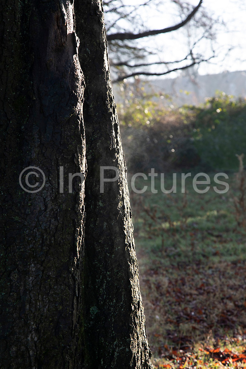 Steaming tree trunk due to warmth from sunlight as it breaks through morning mist through trees in Highbury Park in Moseley / Kings Heath in Birmingham, United Kingdom.