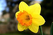 Yellow narcissus tazetta, daffodil, Israel