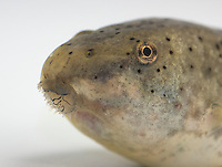 Tadpole of American bullfrog, Rana catesbeiana, Northern California. Native to the Eastern United States, bullfrogs were introduced and have become established west of the Rockies. Bullfrogs are large, aggressive predators and prolific breeders, and have seriously depleted native frog populations in many areas of the West.