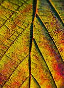 Macro detail of an autumn leaf.