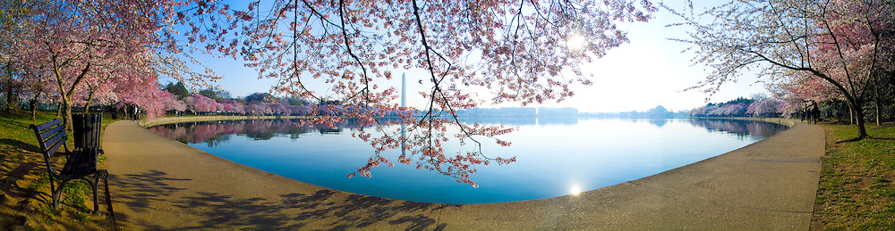 Cherry Blossoms at tidal basin in Washington DC