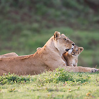 A lioness and her cubs wake in the morning light of the Ngorongoro Crater, Tanzania