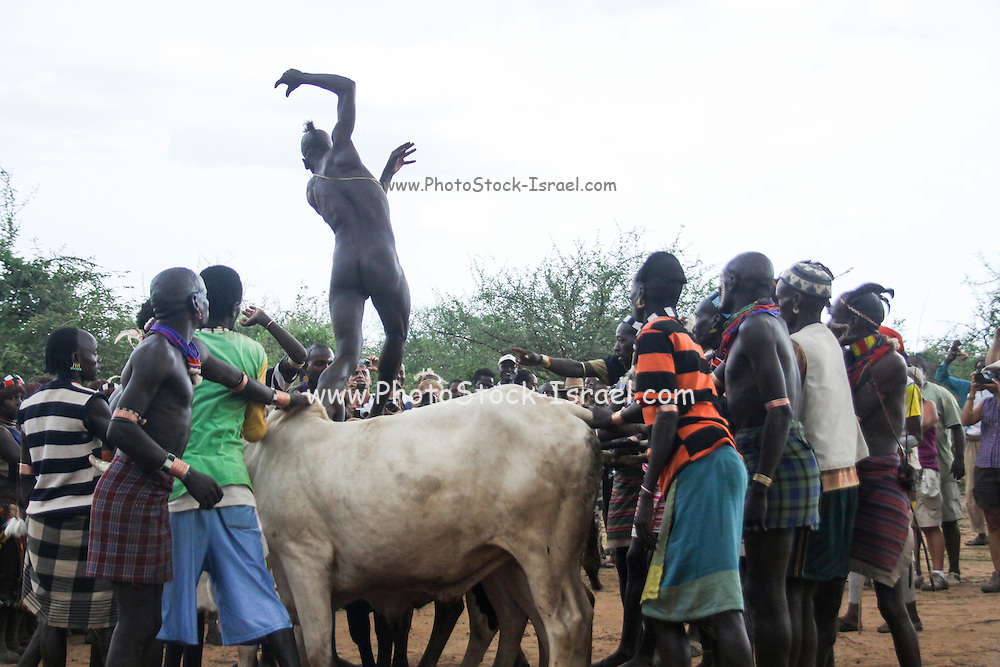Africa, Ethiopia, Omo River Valley Hamer Tribe The Jumping of the Bulls ceremony. The initiate leaps onto a line of ten or more of his family's bulls and runs along their backs. The nude initiate running on the backs of the bulls