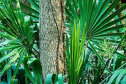 Palmetto grove, Great Trinity Forest, Dallas, Texas, USA