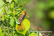01618-01510 Orchard Oriole (Icterus spurius) female getting nectar on Dropmore Scarlet Honeysuckle Lonicera x brownii Marion Co. IL