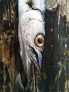 Barracuda, La Parguera Puerto Rico, Feb 2013