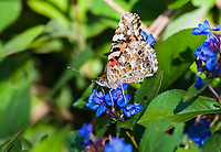"""Painted Lady butterfly (Vanessa cardui) this butterfly is the most widlely distributed butterfly in the world.  It can be found in every continent execpt Australia and Aantarctica.  The butterfly prefers warmer climates, but often migrates to cooler regions in the spring and fall.  The painted lady is concidered a """"irruptive migrant"""", meaning it dose not migrate according to any seasonal or geographic patterns."""