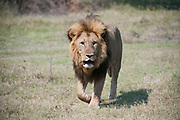 Male lion walking in open grassland