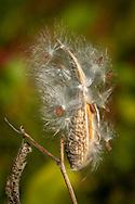 Seeds bursting out of a milkweed pod