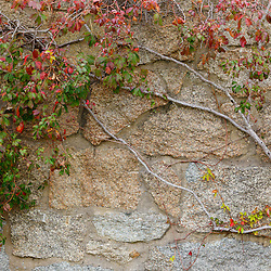 Ivy grows on an old barn foundation at the future headquarters of the Wildlands Trust in Plymouth, Massachusetts.