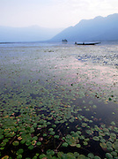 Lilly pads and a shikara, a local wooden boat, on Lake Dal, India
