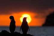 The Galapagos Penguin is a penguin endemic to the Galapagos Islands. It is the only penguin that lives north of the equator in the wild. With fewer than 2000 individs in the world, this species is endangered | Galapagospingvinen er unik for Galapagos, og den eneste ville pingvinen nord for ekvator. Men mindre enn 2000 individer på verdensbasis, er denne arten utrydningstruet.