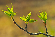 Aspen leaves in spring (Populus tremuloides), Banff National Park, Alberta, Canada