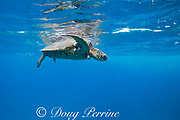 a green sea turtle, Chelonia mydas ( Threatened Species ), suffering from fibropapilloma tumors ( caused by a herpes virus ), Black Rock, Ka'anapali, West Maui, Hawaii, USA ( Central Pacific Ocean )