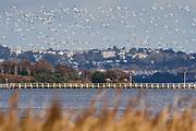 Avocets (Recurvirostra avosetta) in flight. Poole Harbour, Dorset, UK.