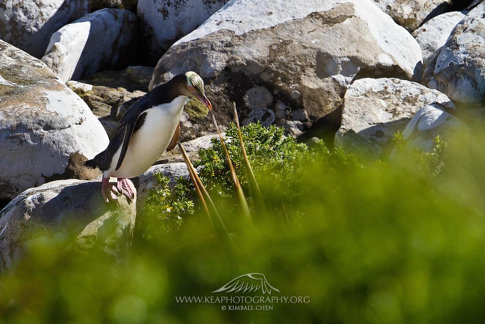 Yellow-eyed Penguin, Te Rere Scientific Reserve, New Zealand