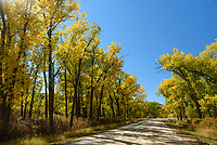 On my way back from Canada, I stopped at James Kipp Recreaton Area in northern Montana. The cottonwood trees around the Missouri River were at peak color.
