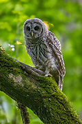 A young barred owl (Strix varia) looks out from its perch in dense forest in Edmonds, Washington. Barred owls feed mainly on small mammals, but will also prey upon other birds, reptiles, invertibrates and amphibians if the opportunity presents itself.