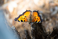 A California tortoiseshell butterfly photographed in Wyoming's Yellowstone National Park on a hot summer day. This West Coast member of the brushfoot family of butterflies is a real beauty, and can be found mostly anywhere in the United States from the Pacific Ocean to the Rocky Mountains, and sometimes further east in search of its favorite larval food source, buckbrushes.