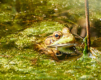 Kermit, the Green Frog in my pond. Image taken with a Nikon 1 V3 camera and 70-300 mm VR ens.