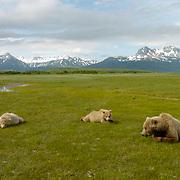 Alaskan Brown Bear, (Ursus middendorffi) Family resting. Katmai National Park. Alaska.
