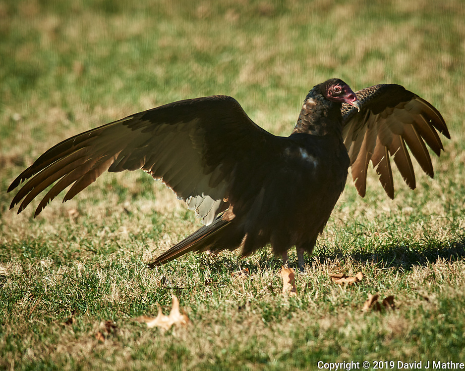 Turkey Vulture Image taken with a Nikon D5 camera and 600 mm f/4 VR telephoto lens.