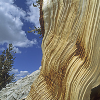 A weather-beaten Bristlecone Pine survives on the arid, high altitude slopes Boundary Peak, the highest summit in Nevada.  Some bristlecone have lived more than 4800 years and are the oldest non-clonal living things.