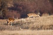 Whitetail deer (Odocoileus virginianus) bucks during the autumn rut