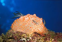 This colorful nudibranch, Halgerda stricklandi, was scientifically described in 1999. Mergui Archipelago, Burma, Andaman Sea