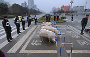 CHENGDU, CHINA - FEBRUARY 10: (CHINA OUT) <br /> <br /> Police Catch Pigs In The Street<br /> <br /> Traffic policemen stand in line to prevent pigs running into the street after a truck carrying pigs rolled over on Tianfu Avenue on February 10, 2014 in Chengdu, Sichuan Province of China.<br /> ©Exclusivepix
