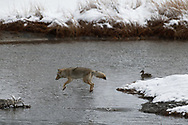 A coyote in mid leap, Madison River, Yellowstone