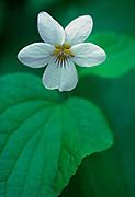 Canada violet (Viola canadense) flower <br />Duck Mountain Provincial Park<br />Manitoba<br />Canada