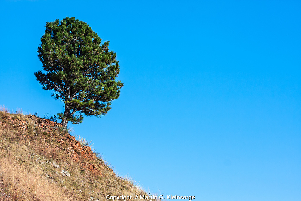 Ponderosa pines (Pinus ponderosa) are well adapted to the dry, rocky soils found at Custer State Park, South Dakota.