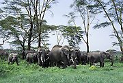 African Elephant <br /> Loxodonta africana<br /> A herd feeding below a grove of yellow fever acacia trees<br /> Ngorongoro Conservation Area, Tanzania